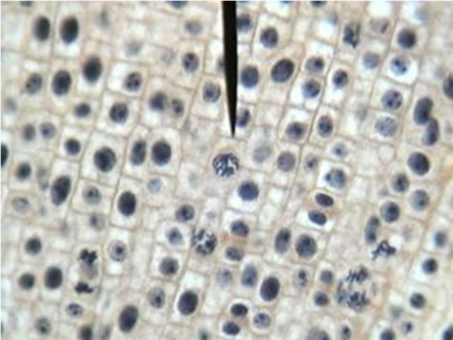 observing mitosis in the cells of garlic biology essay Cell biology (cp8121) experiment 2: observing mitosis and meiosis on cell specimens (formal report) name: wong chung an class: dmls/ft/1b/02 admin number: p1138687 summary this experiment aims to observe mitosis and meiosis on cell specimens.