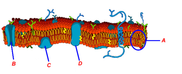 Cell membranes structure and function membrane2g ccuart Image collections
