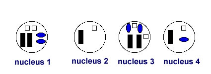 Nucleus 1 Shows A Diploid Cell Of Cartoon Smurf Which Other Is From