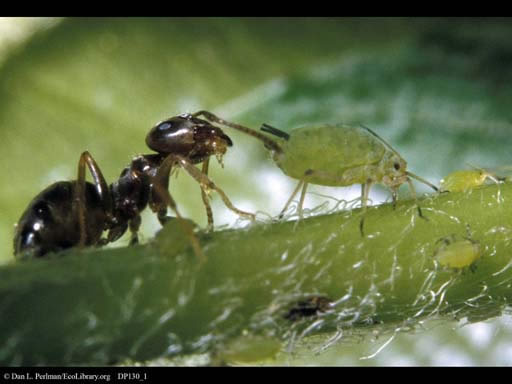 ant_aphid.jpg