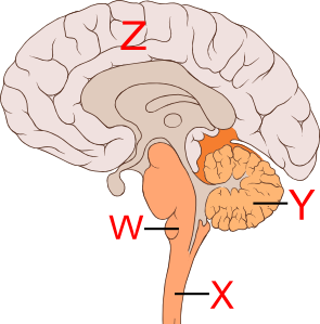brain pngin the diagram