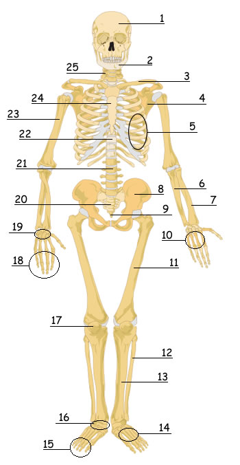 graphic relating to Printable Skeletal System referred to as Human Skeletal Process